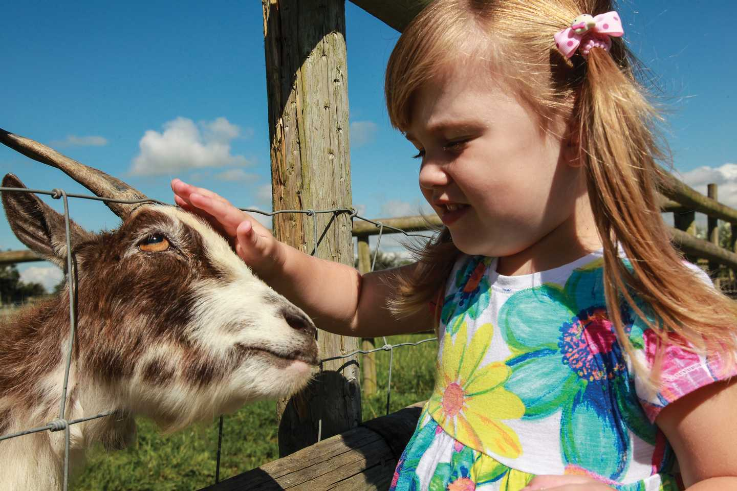 A little girl petting a goat