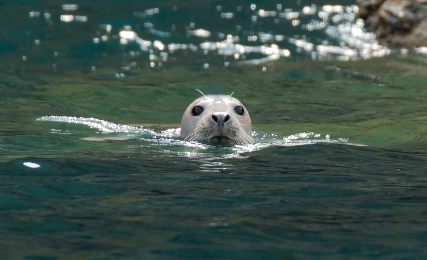 Seal swimming in the water