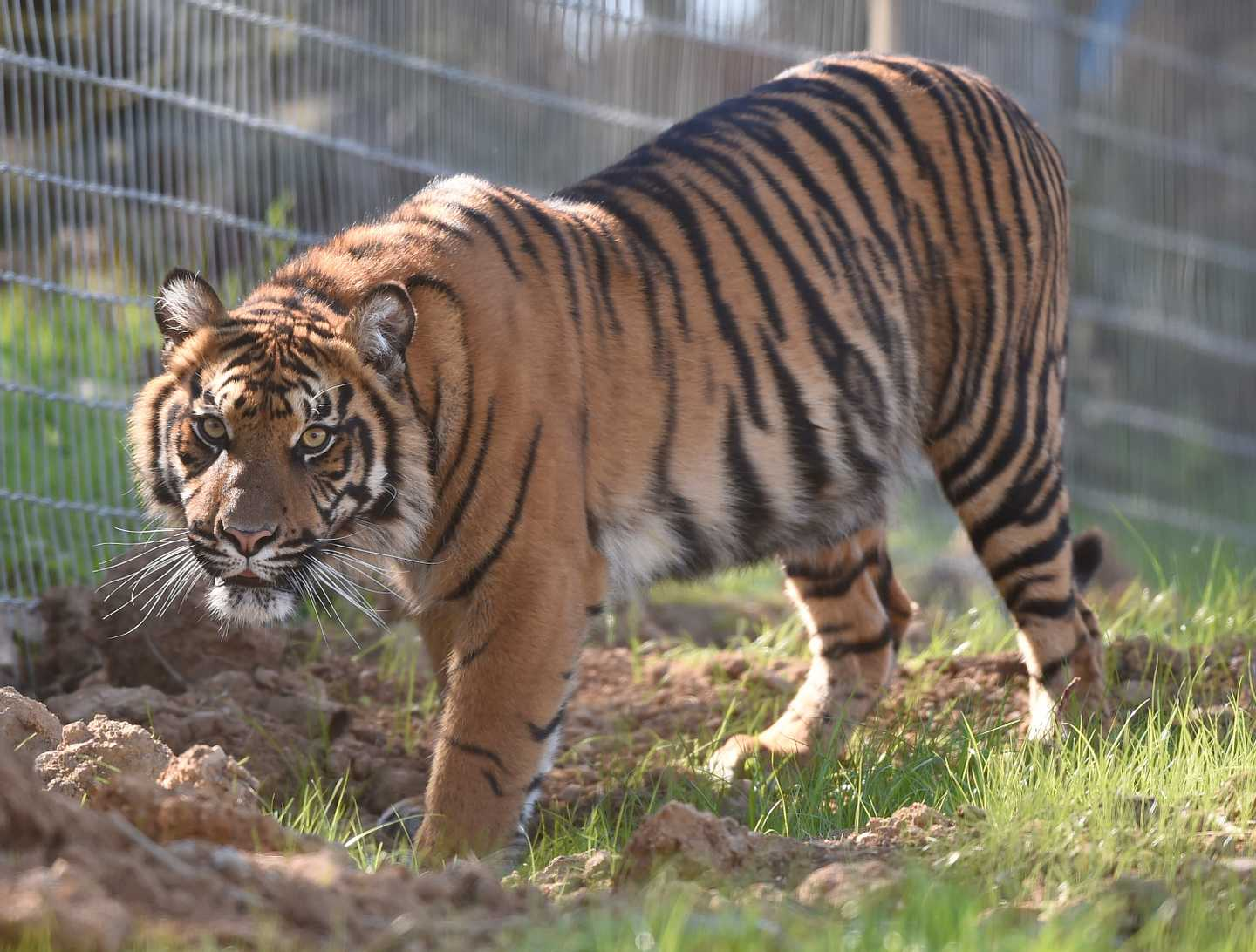 A tiger at Manor House Wildlife Park