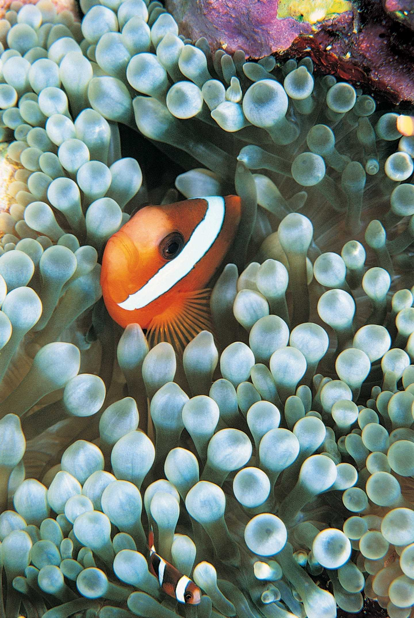 Clown fish hiding in reef