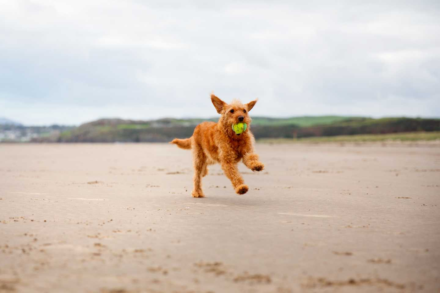 A dog running on the beach