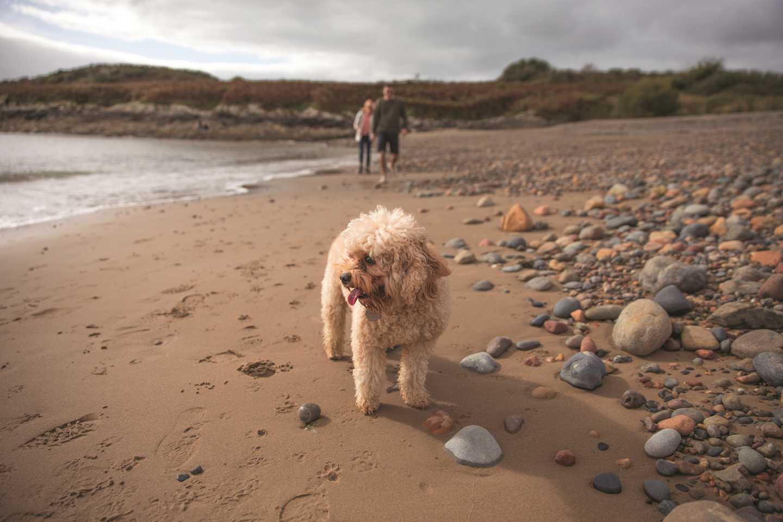 A dog walking a long the beach