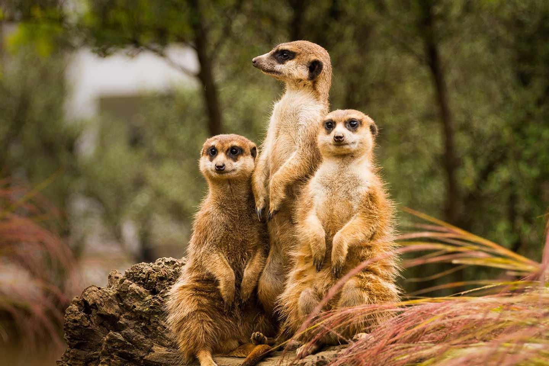 Three meercats
