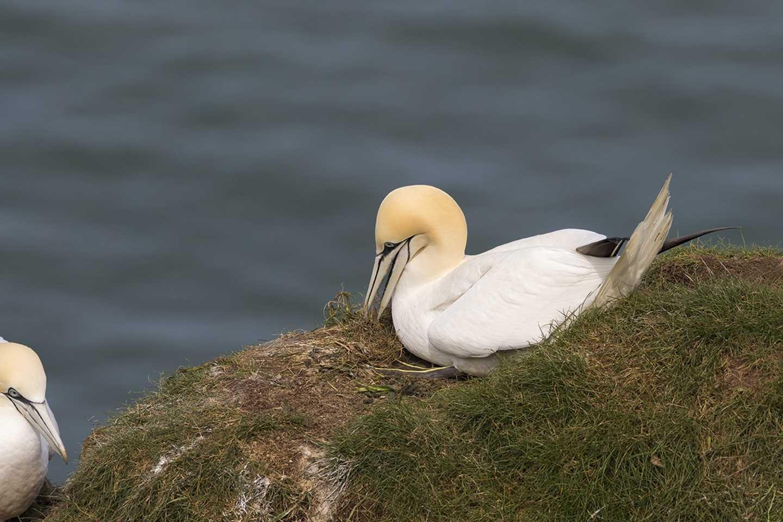 Two gannets sitting on a rock