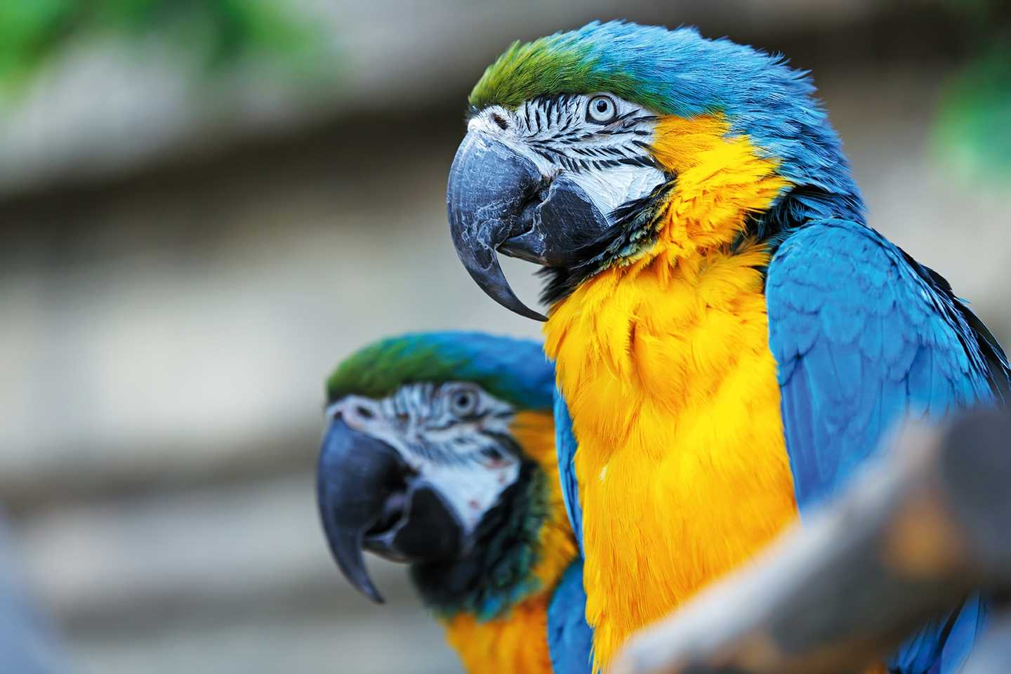 Two yellow blue and green parrots