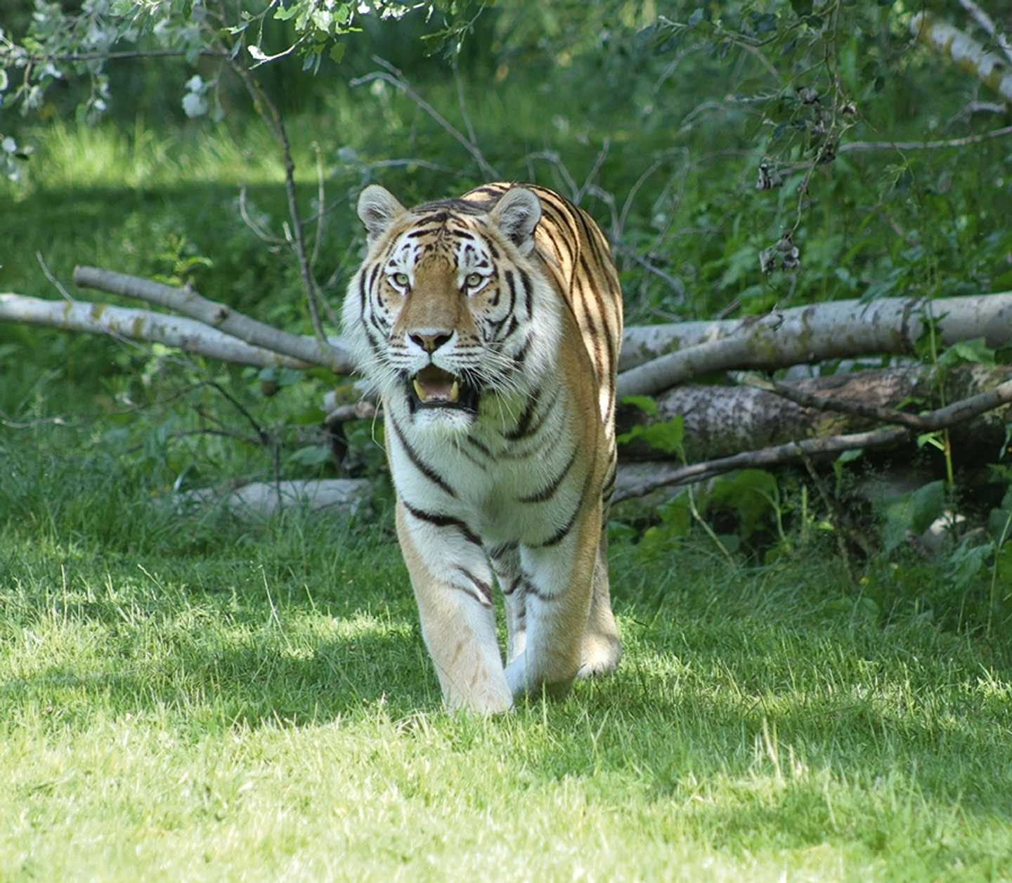 A tiger in the wildlife park