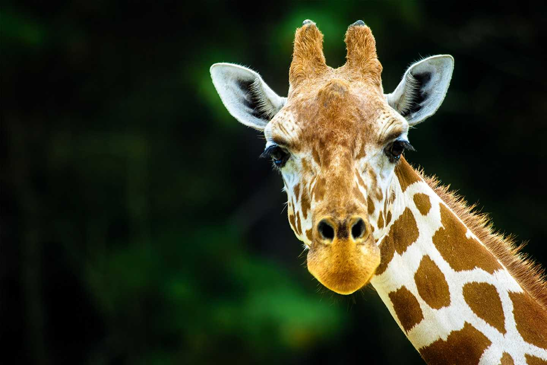 A giraffe at Banham Zoo