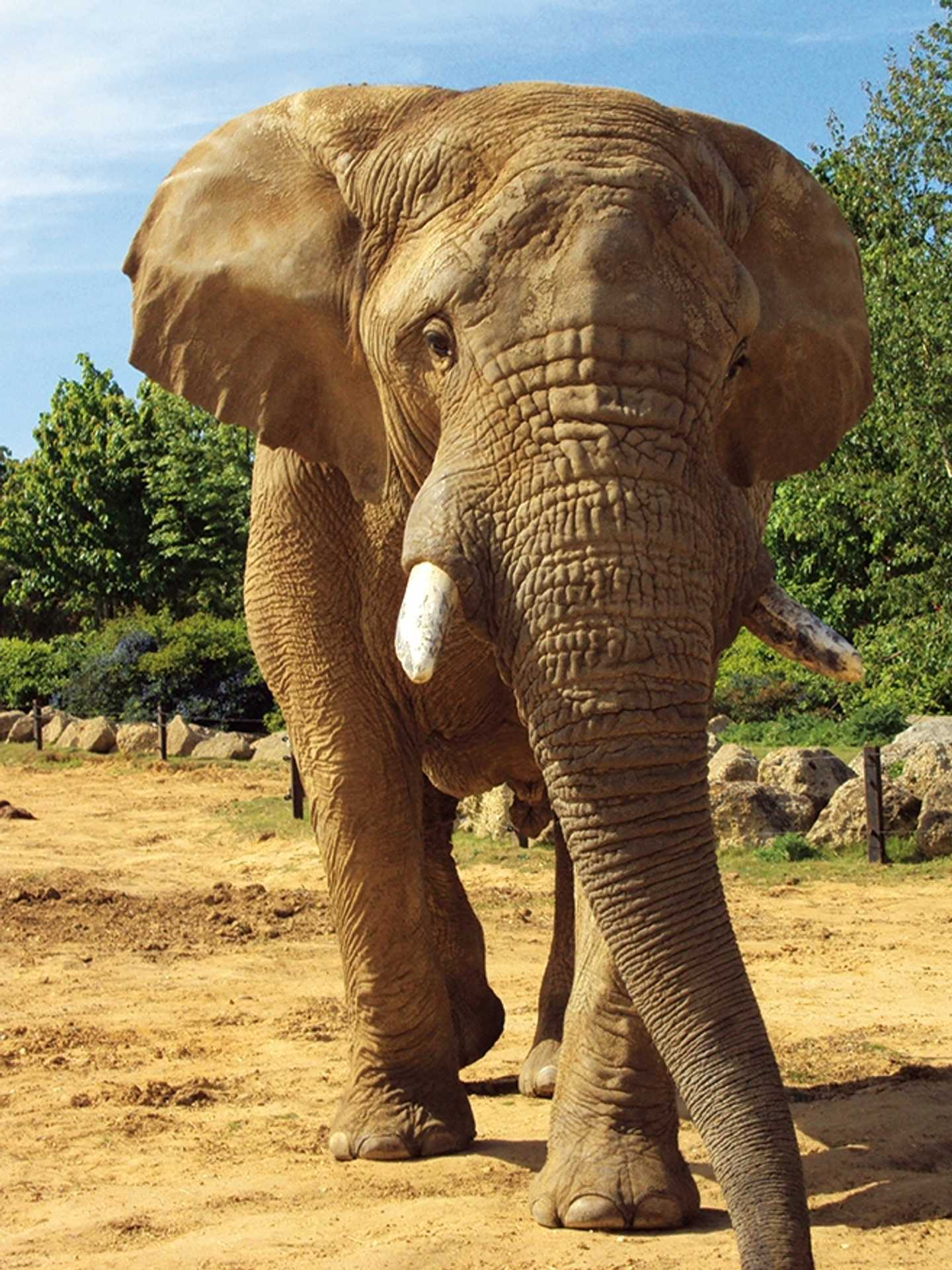 An elephant at Colchester Zoo