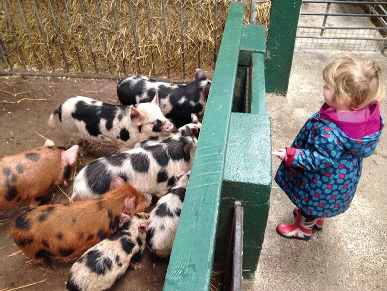 A little girl looking at pigglets at Farmer Palmer's Farm Park