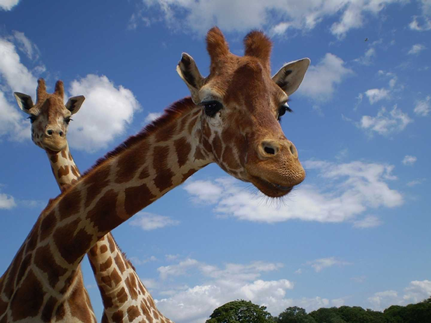 Two giraffes with sky background