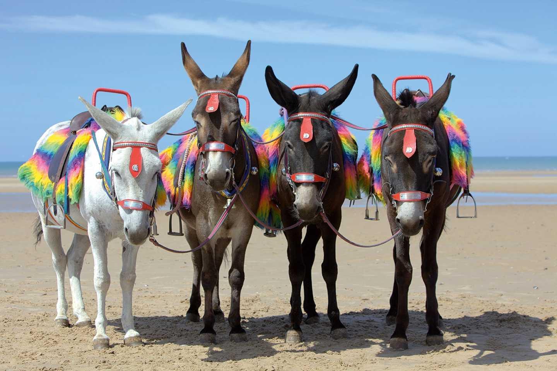 Four donkeys at the beach
