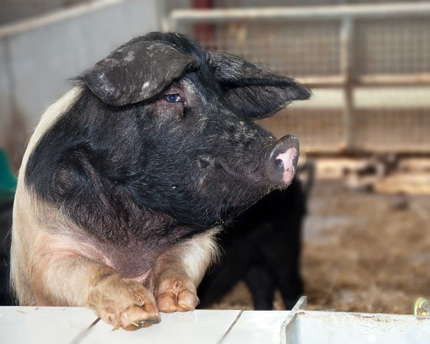 A black and pink pig looking away