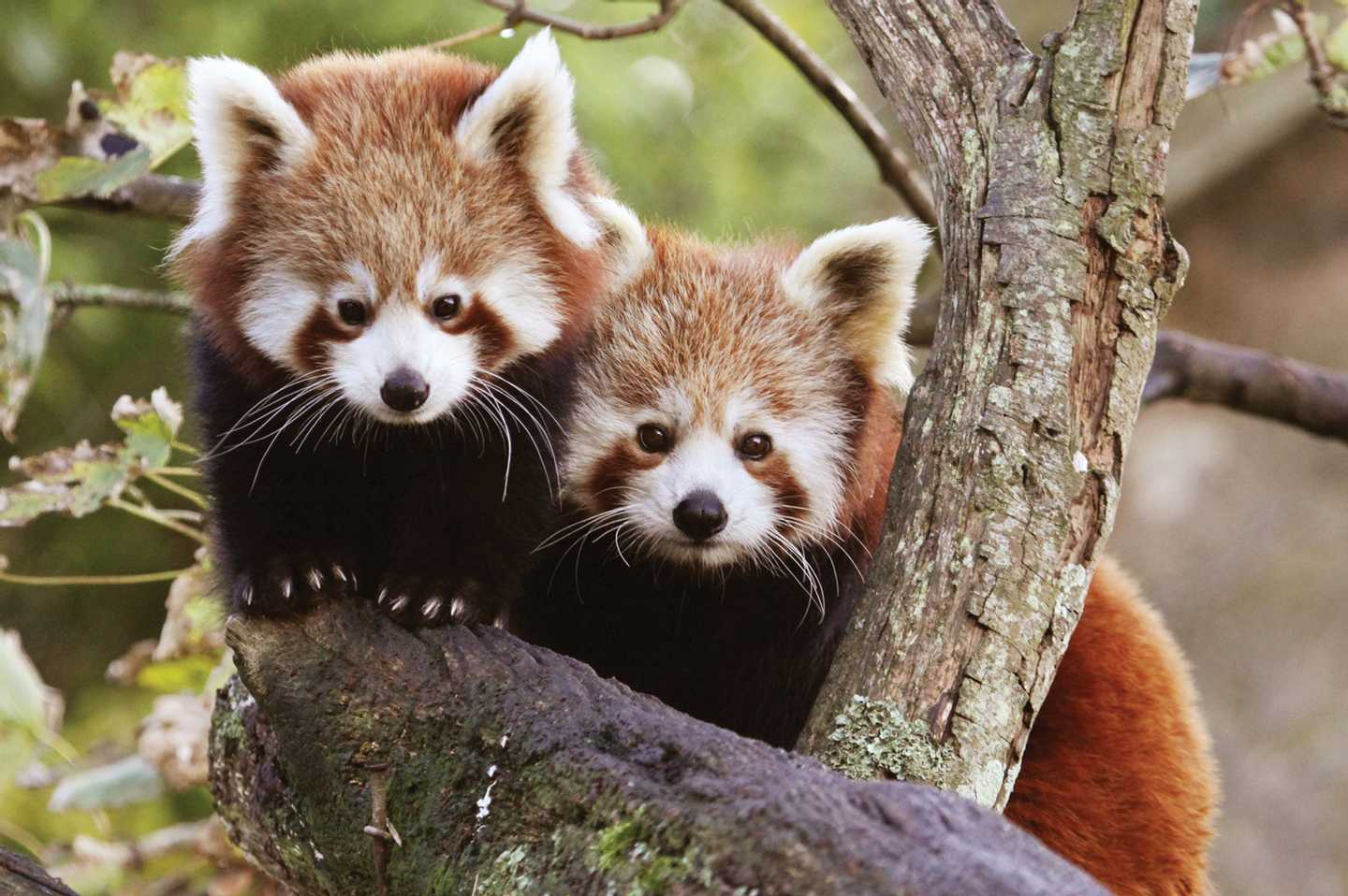 Two red pandas at Paradise Park