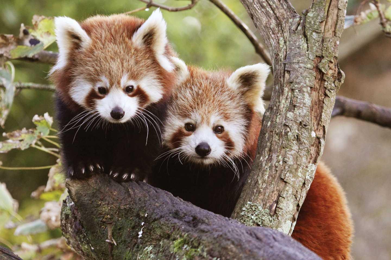 Two red pandas at Paradise Park
