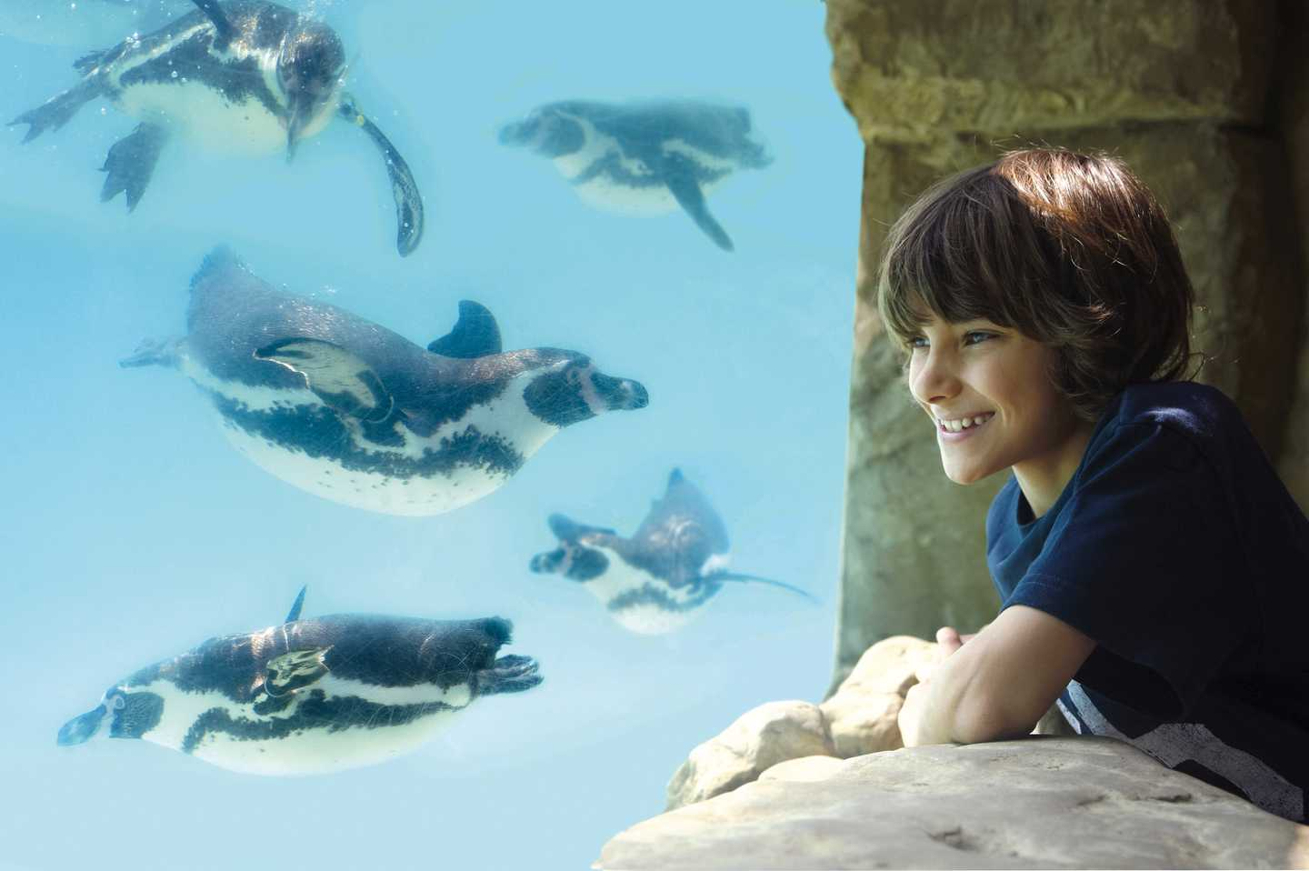 A child watching the penguins through the glass at Drusillas Park