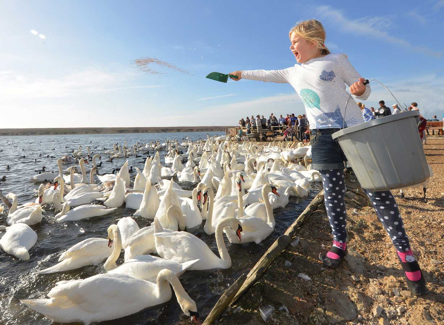 A guest at Abbotsbury Swannery feeding the swans