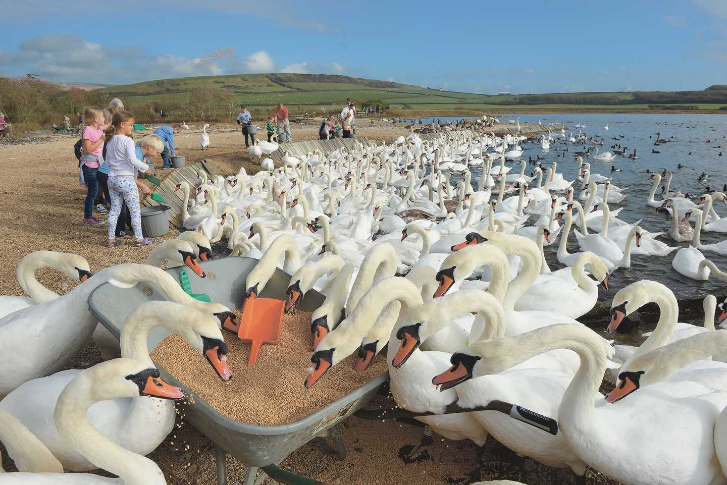 A bevy of swans at Abbotsbury Swannery