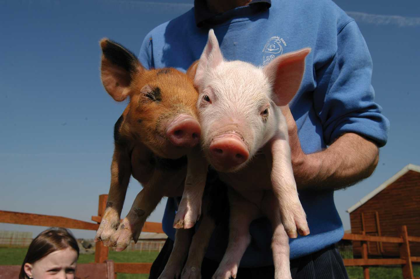 Farmer holding two pigs