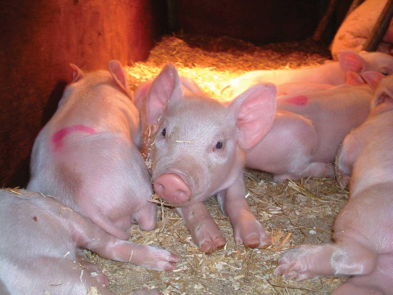 A drift of pigs in a pen