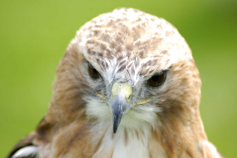 A falcon at Rushmoor Country Farm Park & Falconry Centre