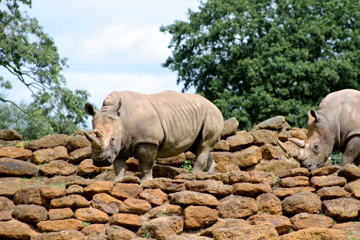 Rhinos at Africa Alive